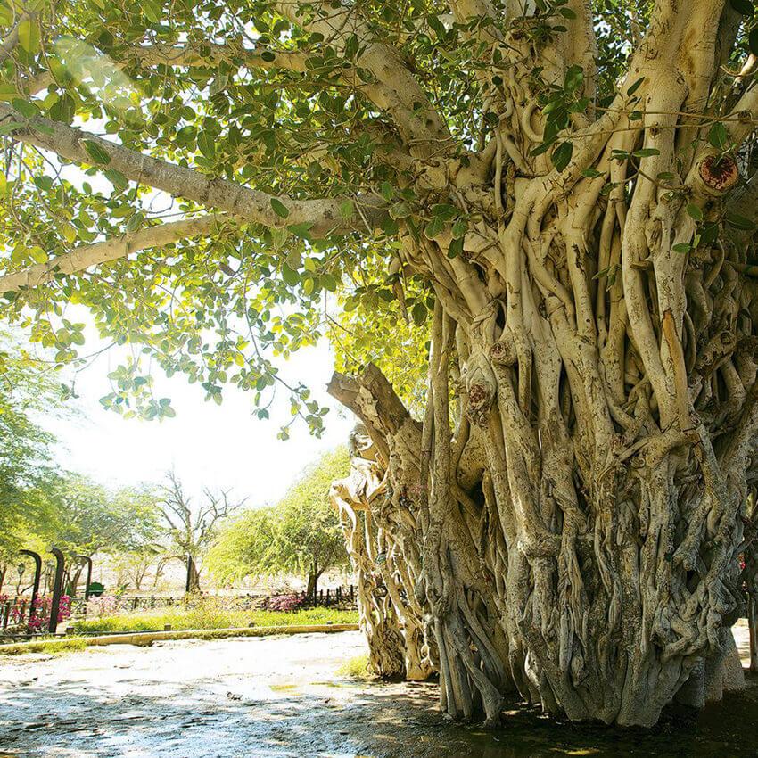 درخت سبز جزیره کیش