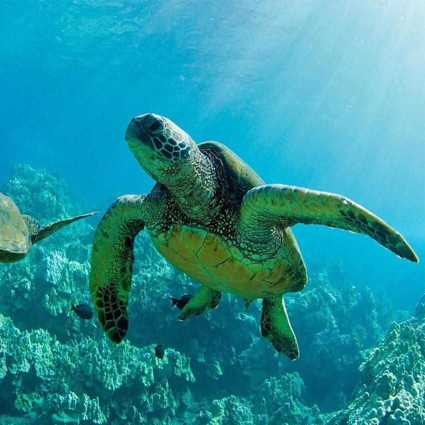 لاک پشت های دریایی کیش