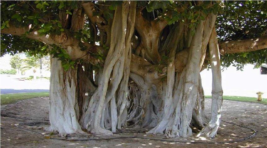 فرهنگ بومی کیش درباره هرس درختان لور