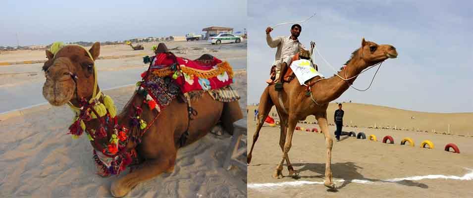 قیمت شتر سواری در کیش